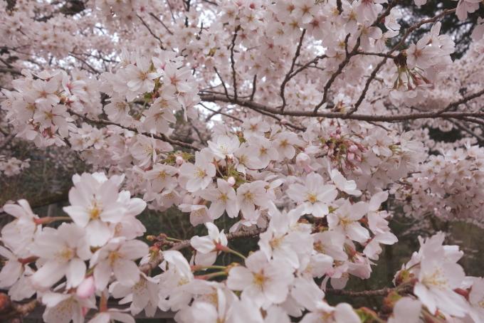 桜-2.JPG