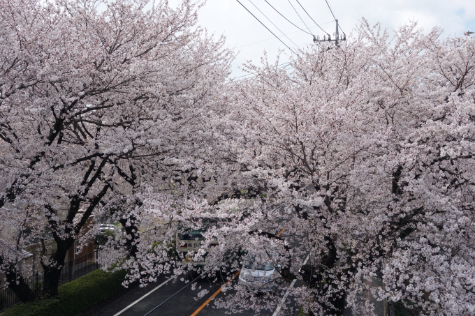 桜0006.JPG